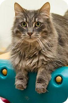 Domestic Mediumhair Cat for adoption in Frankenmuth, Michigan - Buster