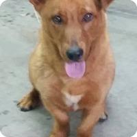 Adopt A Pet :: Ranger - Bardonia, NY