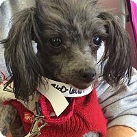 Adopt A Pet :: Nicole  **ADOPTION PENDING** - Fairfax, VA