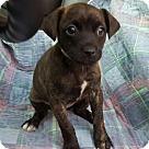 Adopt A Pet :: Gia! **FOSTER NEEDED**