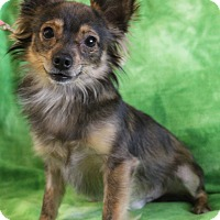Chihuahua/Papillon Mix Dog for adoption in Allentown, Virginia - Bowie