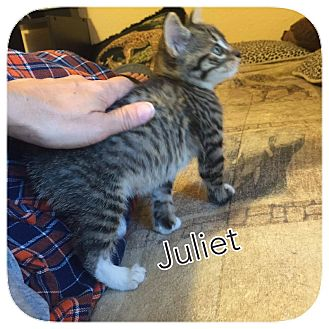 Domestic Mediumhair Kitten for adoption in Ravenna, Texas - Juliet 2