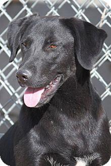 Labrador Retriever Mix Dog for adoption in Hudson, New Hampshire - Rickie Willis