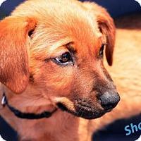 Adopt A Pet :: Shaggy - tucson, AZ