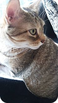Domestic Shorthair Cat for adoption in THORNHILL, Ontario - Tiger Lily