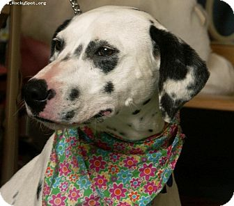 Dalmatian Mix Dog for adoption in Newcastle, Oklahoma - Meadow (Mylee)