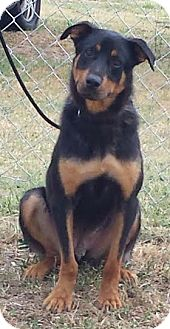 Rottweiler Mix Dog for adoption in Washington, D.C. - Titan - NEEDS FOSTER!