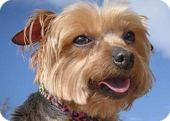 Yorkie, Yorkshire Terrier Dog for adoption in Colorado Springs, Colorado - Cassie