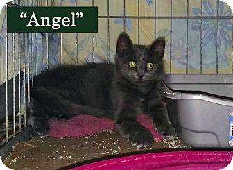 Domestic Mediumhair Kitten for adoption in Irwin, Pennsylvania - Angel