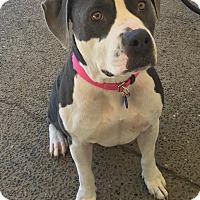 Adopt A Pet :: Victoria - Auburn, WA
