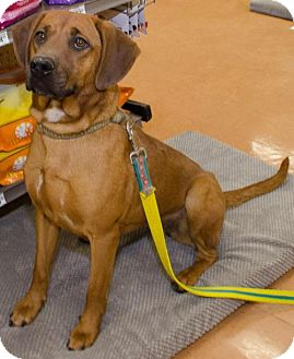 Coonhound Mix Puppy for adoption in Midlothian, Virginia - Amber