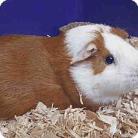 Adopt A Pet :: *Urgent* Smore, Brownie & Cupc - Fullerton, CA