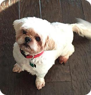 Shih Tzu Mix Dog for adoption in Fayetteville, Georgia - Buddy