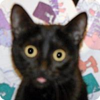 Domestic Shorthair Cat for adoption in Wildomar, California - Trisha