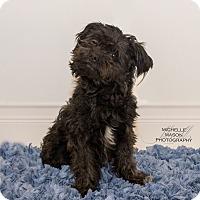 Schnauzer (Miniature) Mix Dog for adoption in Naperville, Illinois - Bullet
