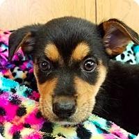 Adopt A Pet :: Avis **FOSTER NEEDED** - New York, NY