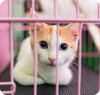 Domestic Shorthair Cat for adoption in Los Angeles, California - Blue