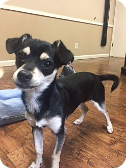 Miniature Pinscher/Terrier (Unknown Type, Small) Mix Puppy for adoption in Dublin, California - Trinie