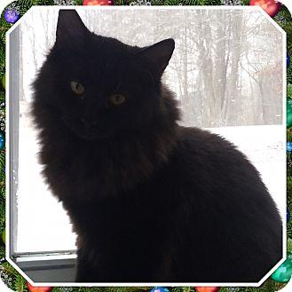 Domestic Longhair Kitten for adoption in Cedar Springs, Michigan - Sher Khan
