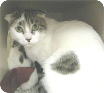 Scottish Fold Cat for adoption in Mesa, Arizona - Snooky