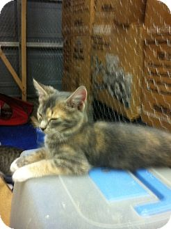 Calico Kitten for adoption in Spotsylvania, Virginia - Peaches