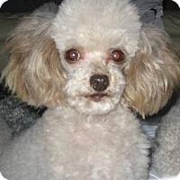 Adopt A Pet :: Foobee - Dover, MA