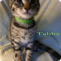 Adopt A Pet :: Tabby - Modesto, CA