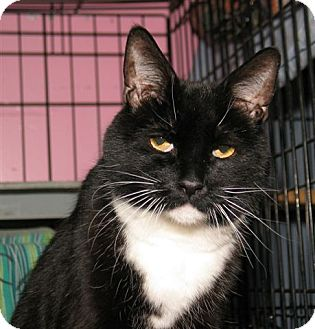 Domestic Shorthair Cat for adoption in Milford, Massachusetts - Hunter