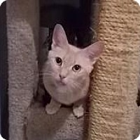 Domestic Shorthair Cat for adoption in Centreville, Virginia - nubit
