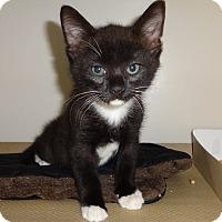 Adopt A Pet :: BAGEL - Yummy Kitty'13 - New York, NY
