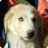 Adopt A Pet :: Zoya - Hagerstown, MD