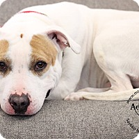 Adopt A Pet :: Joey - Mt Vernon, NY