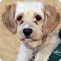 Adopt A Pet :: Belle - Palmdale, CA