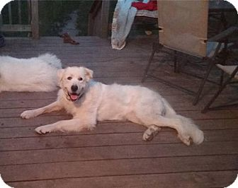 Great Pyrenees Dog for adoption in Oswego, Illinois - Maggie Mae