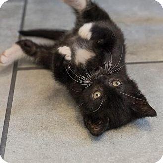 Domestic Shorthair Kitten for adoption in St. Paul, Minnesota - Sarabi
