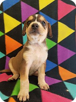 Labrador Retriever/Shepherd (Unknown Type) Mix Puppy for adoption in Pompton Lakes, New Jersey - m8
