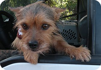 Yorkie, Yorkshire Terrier/Terrier (Unknown Type, Medium) Mix Dog for adoption in El Cajon, California - Stella