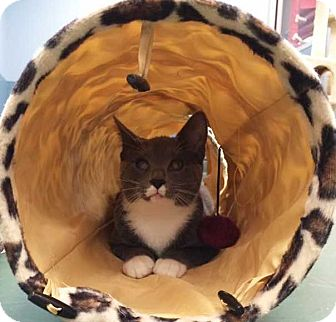 Domestic Shorthair Cat for adoption in Cumberland and Baltimore, Maryland - Nikolai