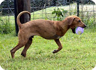 Labrador Retriever/Redbone Coonhound Mix Dog for adoption in Aurora, Colorado - Ian