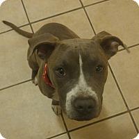 Adopt A Pet :: Blue - Las Vegas, NV