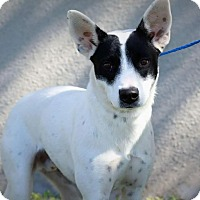 Adopt A Pet :: SHINER - Mesa, AZ