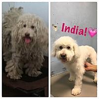 Adopt A Pet :: India - Thousand Oaks, CA
