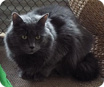 Domestic Longhair Cat for adoption in Grants Pass, Oregon - Lily