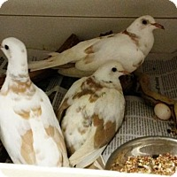 Adopt A Pet :: LONELY DOVES - DeLand, FL