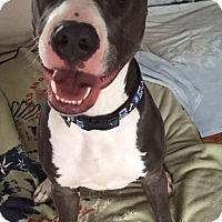 Adopt A Pet :: Big Ben - Dayton, OH