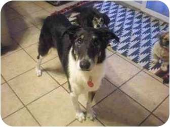 Border Collie/Collie Mix Dog for adoption in Summerville, South Carolina - Jody