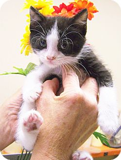 Domestic Mediumhair Kitten for adoption in Toledo, Ohio - Dopey