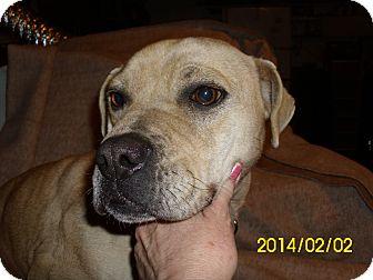 Boxer shar pei mix dog for adoption in canton ohio sasha