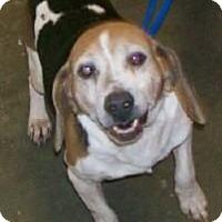 Adopt A Pet :: Leroy Amelia - Waldorf, MD
