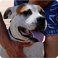 Adopt A Pet :: Rocco - Courtesy Post/Flagstff - Scottsdale, AZ